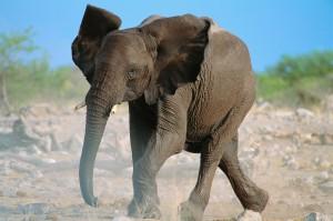 Wet African Elephant